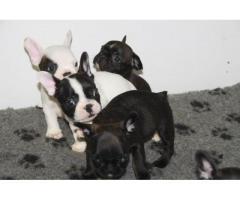 Fransk bulldog valper tilgjengelig