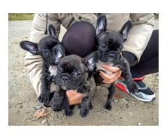 Godt trent fransk bulldog valper til salgs