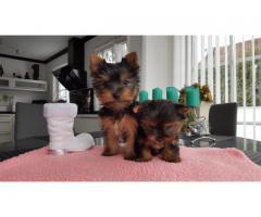Yorkshire terrier valper til salgs