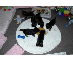 Yorkshire Terrier valper/4200Kr