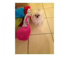 Pekingese hund til salg
