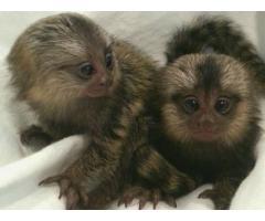 Marmoset apekatter for adopsjon.