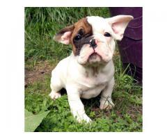 Rasekatt Fransk Bulldog FCI
