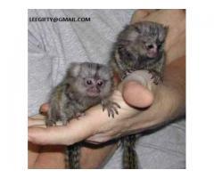 Nydelig baby finger marmoset apekatter for adopsjon