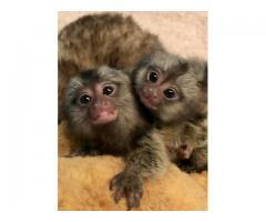 2 Nydelig baby finger marmoset apekatter for adopsjon