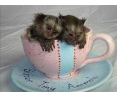 cute Marmoset apekatter for adopsjon