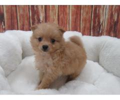 Manlig Pomeranian till salu
