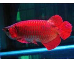 Ferskvann akvarium fisk tilgjengelig