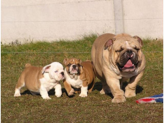 Dejlig bulldog hvalpe til salg