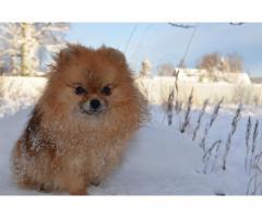 Pomeranian Bamse Tispe Til salgs