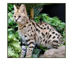 Savannah kattunger