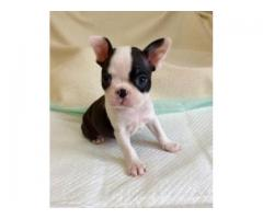 Excellent French Bulldog Puppy Available