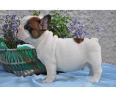 najbolj majhen francoski buldog mladičkov