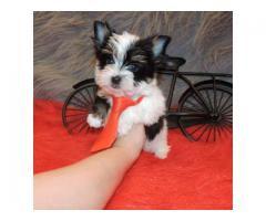 Biewer Yorkshire Terrier valper