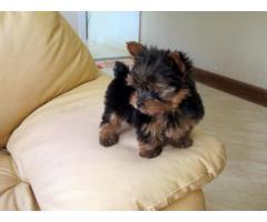 2 yorkshire terrier .-