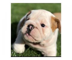 AAF  engelsk bulldog valper