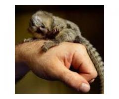 Baby Marmoset apekatter for adopsjon.