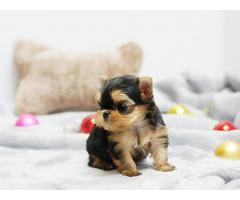 Yorkshire terrier valper til adopsjon !!!