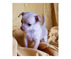 Små Chihuahua valper Fantastisk kvalitet