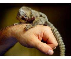 marmoset aper