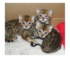 søte Bengalsk og persisk kattunger for adopsjon