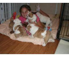 Engelske bulldoghvalper for adopsjon