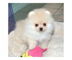 Uvurderlige Pomeranian valper for adopsjon