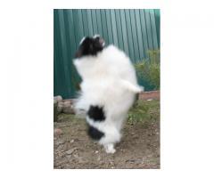 Pomeranian valper for adopsjon.