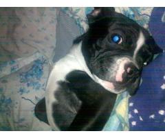 fransk bulldoghund til salgs