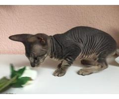 Vakre sphynx katter til salgs
