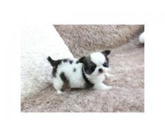 Smuk Chihuahua hvalpe