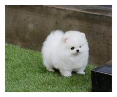Pomeranian valper! VELDIG LUN