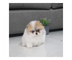 Registrerte Pomeranian valper