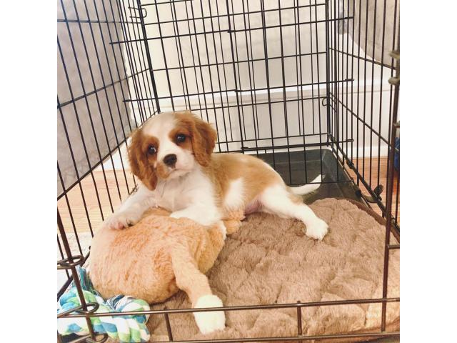 New Cavalier King Charles Spaniel Pup