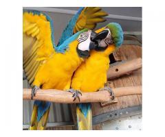 Papegøyer av forskjellige arter og deres fruktbare egg til salgs.