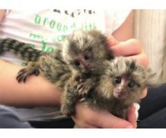marmoset-aper for adopsjon.