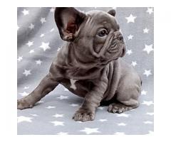 Fremragende franske bulldog valper