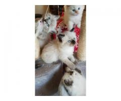 Nydelige Ragdoll kattunger,