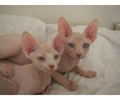 fantastiske Sphynx kattunger tilgjengelig.