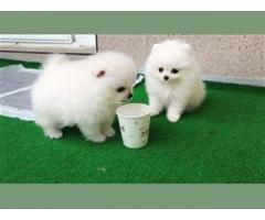 Nydelige Pomeranian valper til salgs